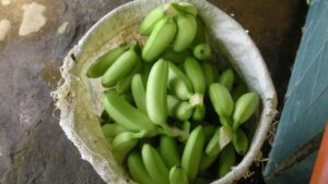 The market only accepts bunches of 5 perfect bananas. 50% of the mini bananas in Costa Rica go to waste (source: private)